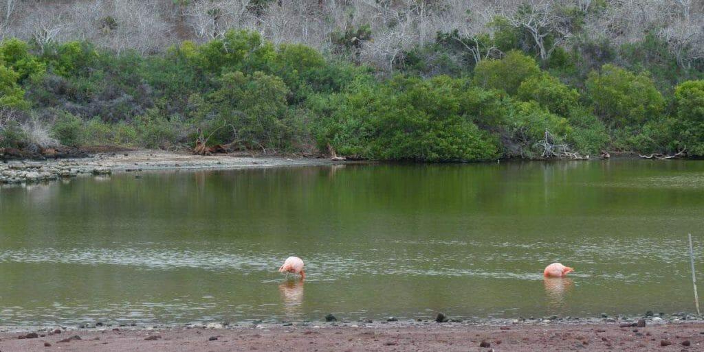 galapagos islands flamingos in brackish pool
