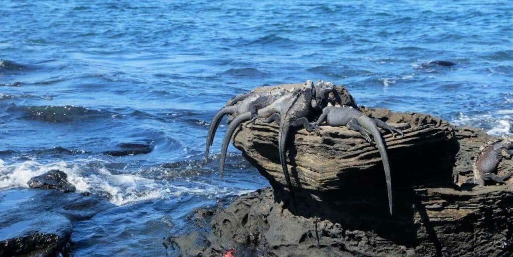 marine-iguanas-galapagos-islands-ecuador