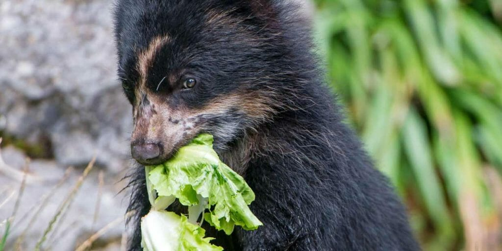 what do andean bears eat? mostly berries and plants