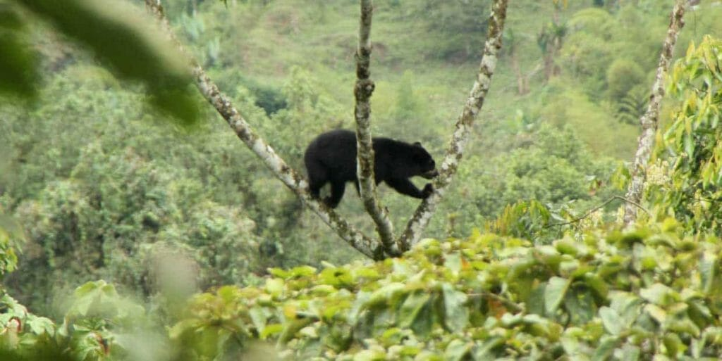 A spectacled bears perching precariously in a tree at maquipucuna ecuador