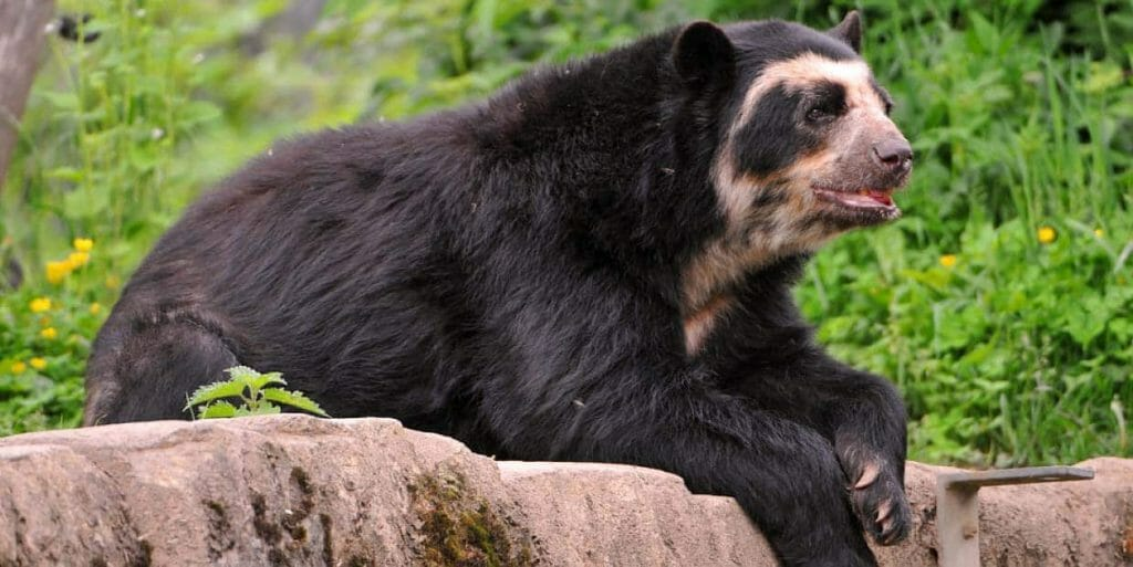 An Aandean spectacled bear in ecuador lying on the ground