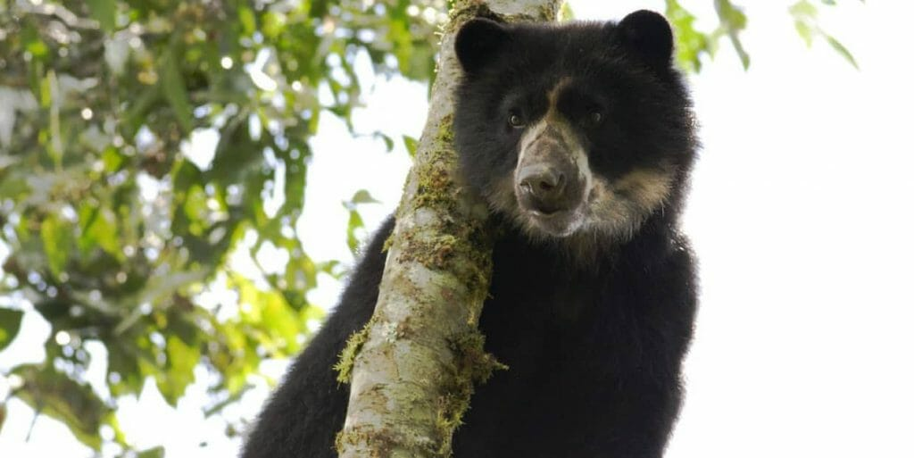 a cute andean bear climbing a tree in the ecuador cloudforest