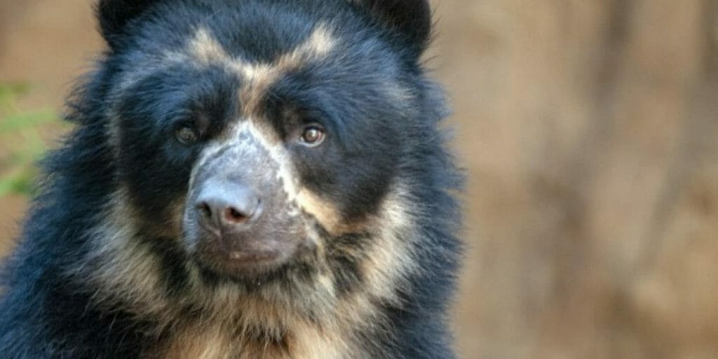 spectacled-bears-tours-ecuador