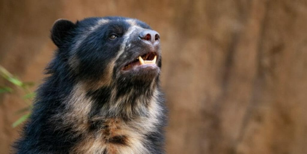 ecuador-spectacled-bears-facts
