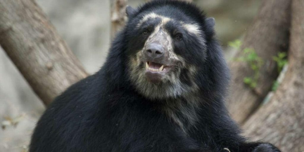Are andean bears dangerous? no, they are usually shy and timid creatures