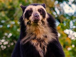 thumb an ecuador andean bear standing up
