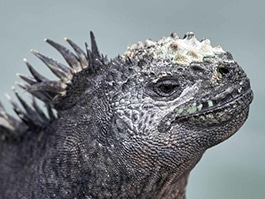 galapagos in january - marine iguanas change color to attract a mate