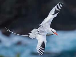 beautiful Galapagos red billed tropicbird in flight