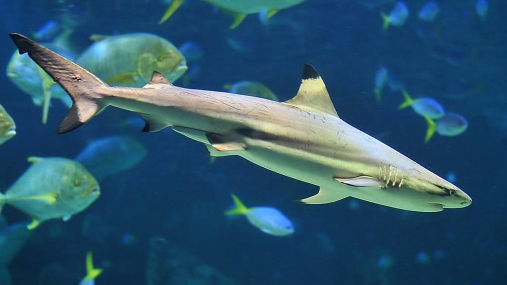 Blacktip Reef Shark – Galapagos Islands