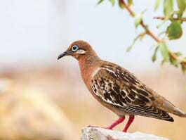 A pretty galapagos dove sitting on a rock
