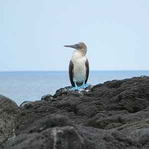Galapagos blue footed booby bird sits alone on black clifftop