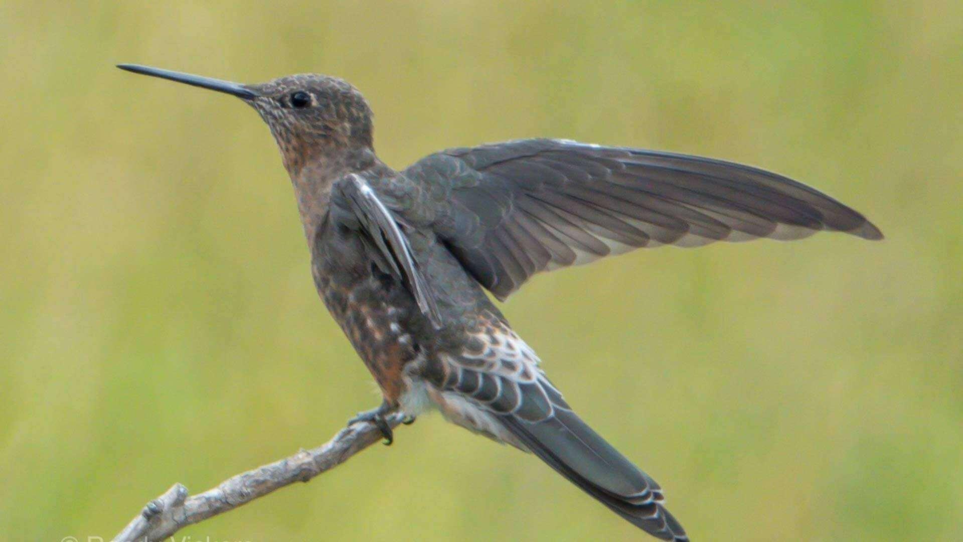 giant hummingbird spread his wings at antisana ecuador