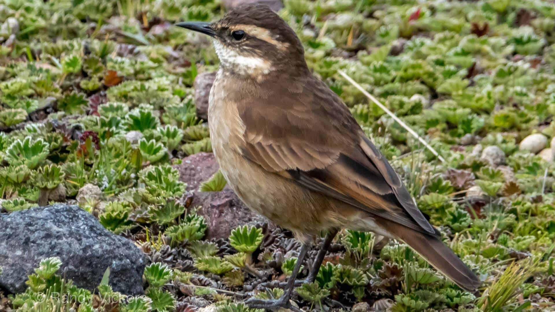 antisana reserve birding tour