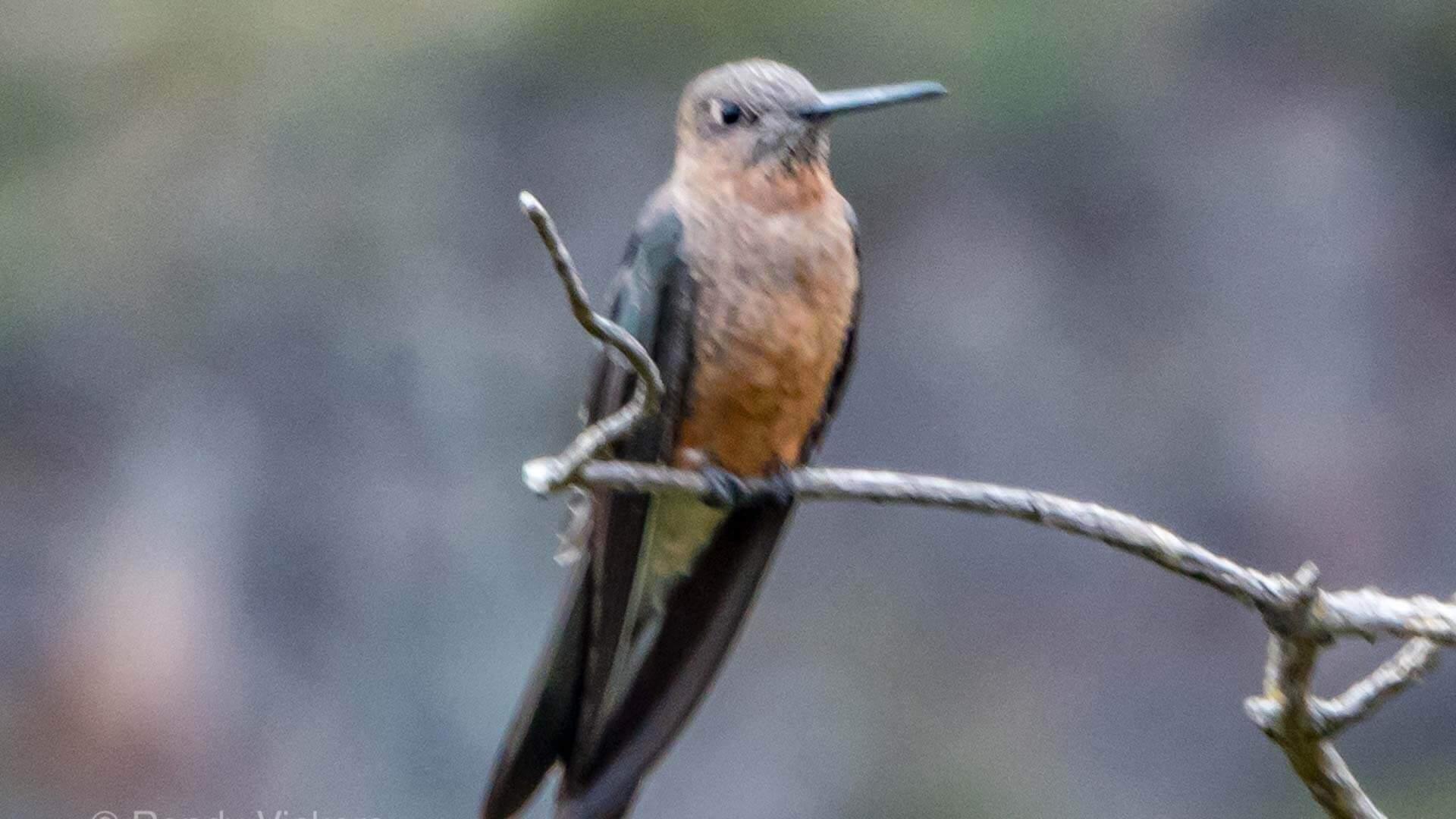 shining sunbeam hummingbird spotted at antisana reserve ecuador
