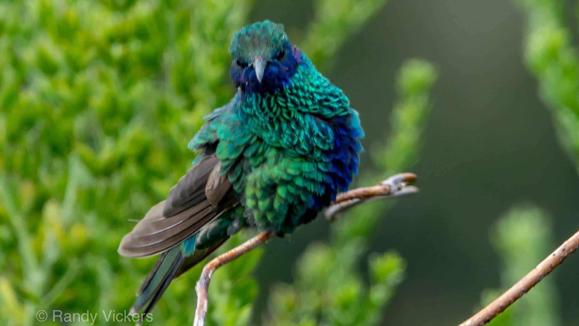green and blue hummingbird sitting on a branch antisana ecuador