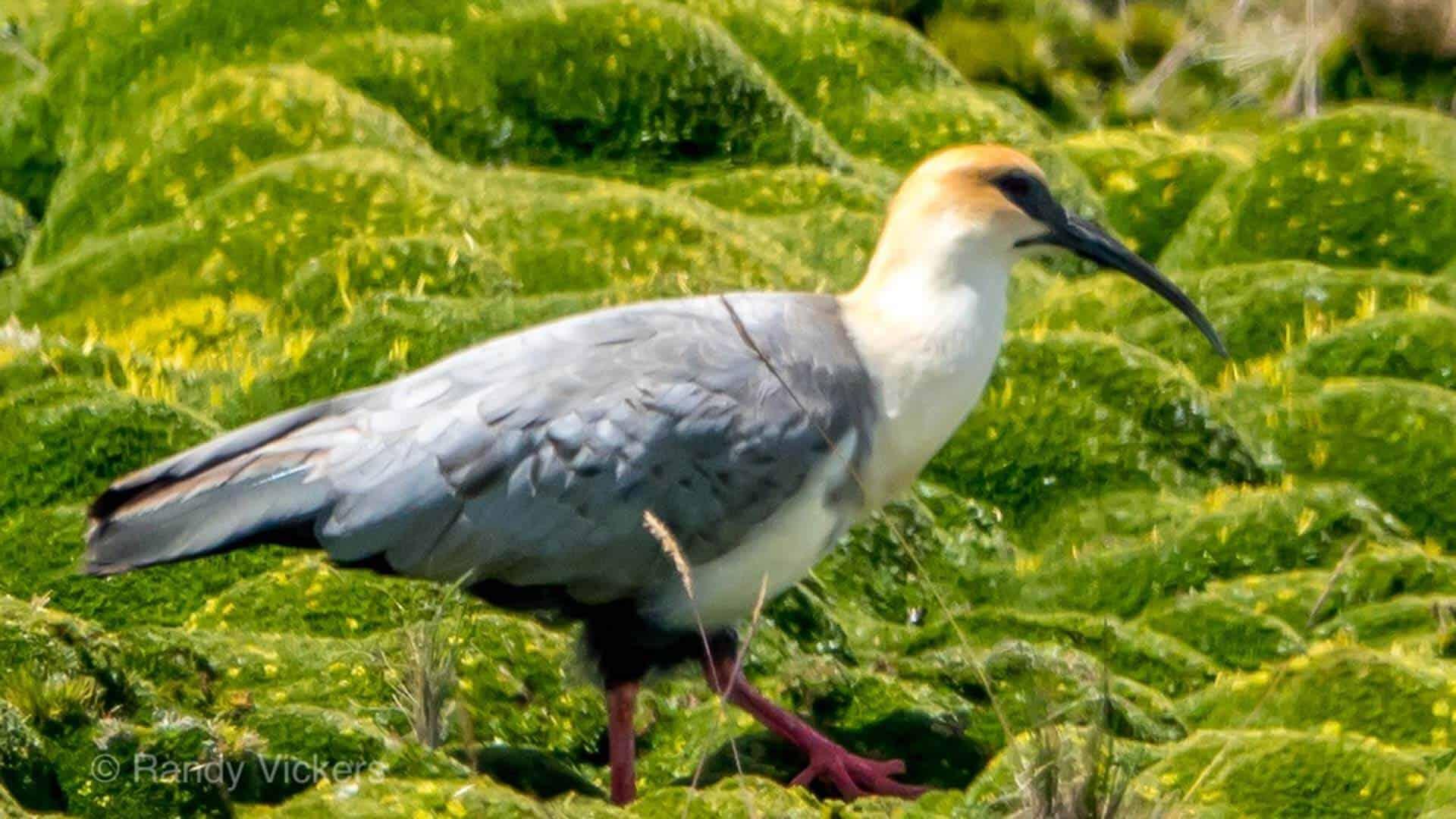 andean ibis bird at antisana reserve ecuador