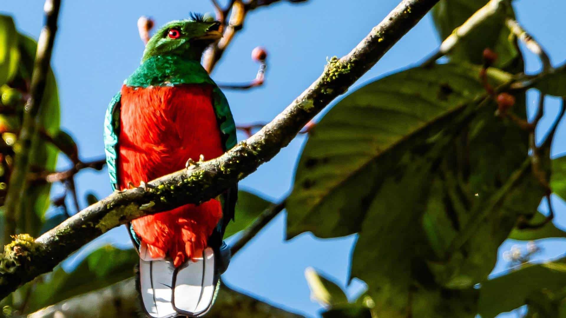 crested quetzal bird ecuador choco cloud forest slopes
