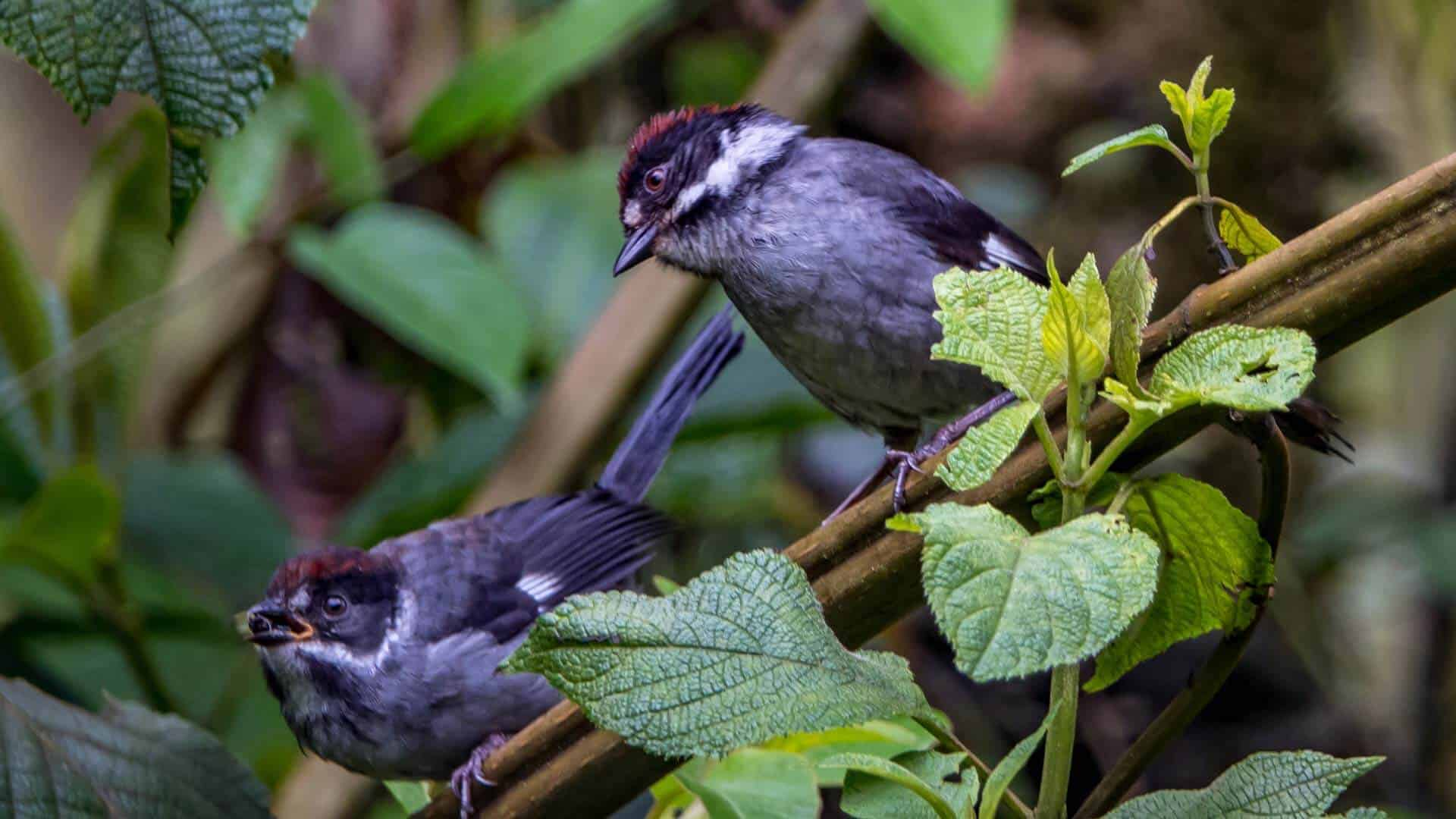 birds feeding on ecuador choco cloud forest slopes bird watching tour