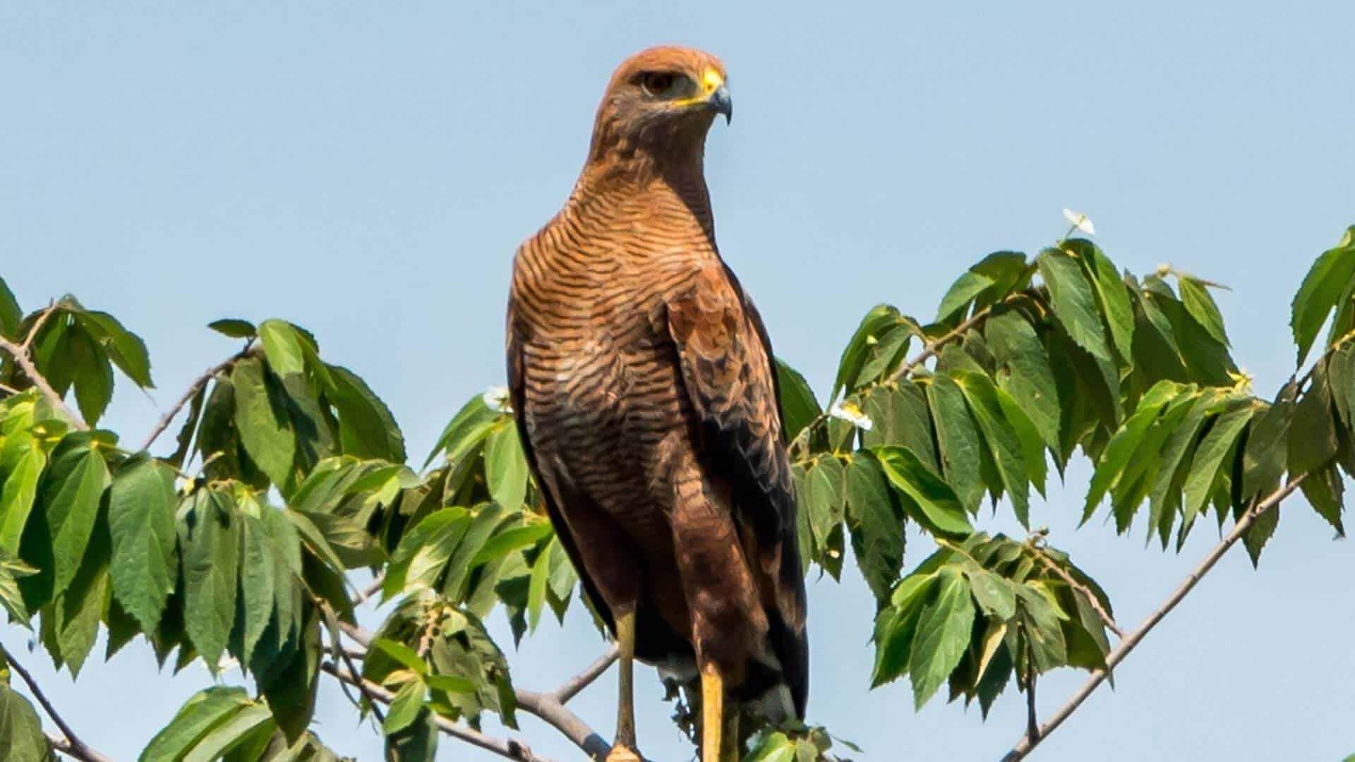 bird of prey Ecuador bird tours