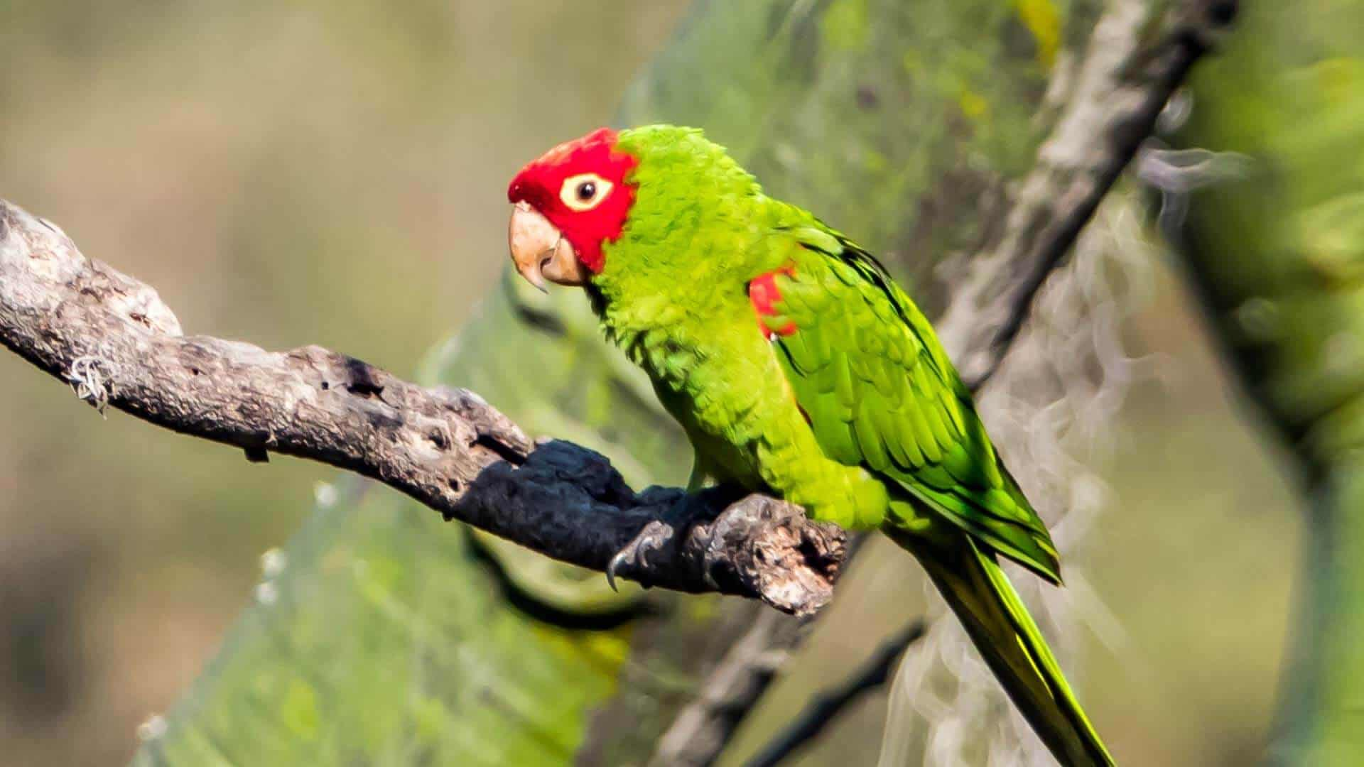 colorful green and red parrot in south Ecuador