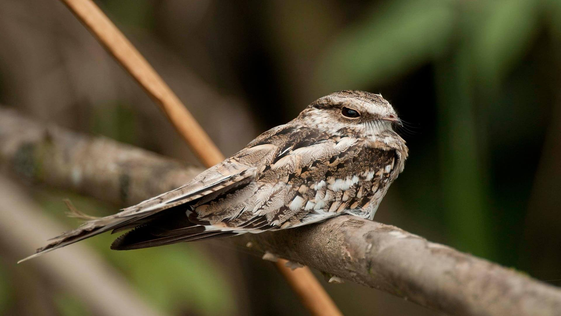 lone nightjar sitting on a branch in ecuador