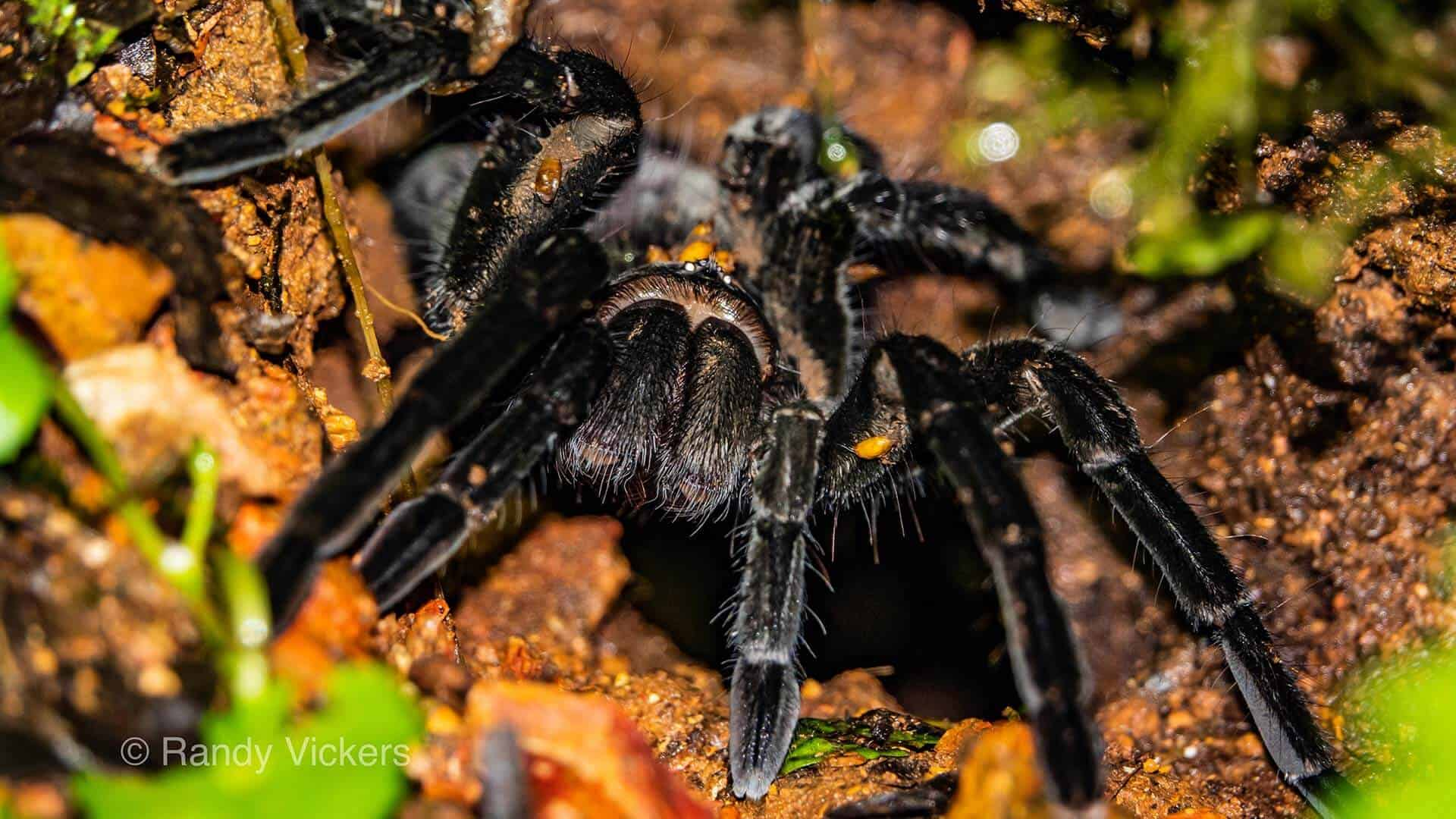 tarantula spider macro photography