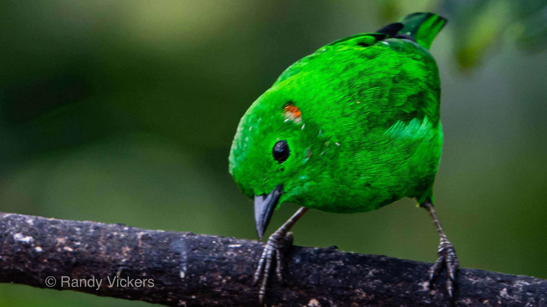 glistening green tanager bird ecuador cloud forest photo tour