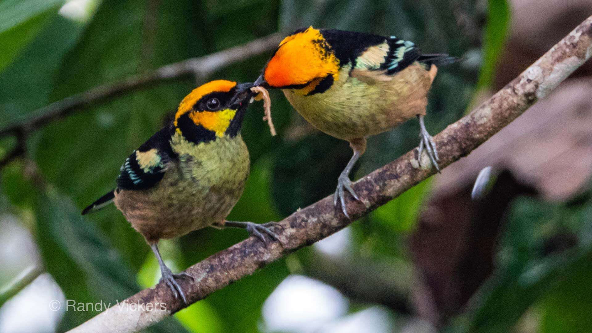 two flame faced tanagers share a worm in ecuador cloud forest