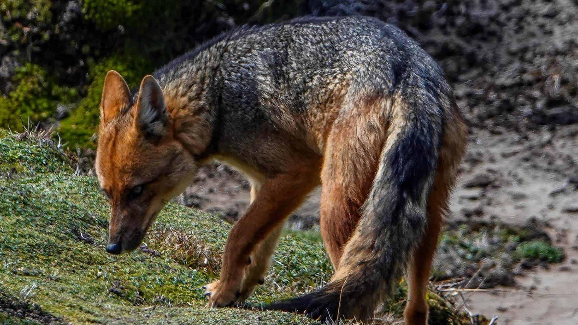 andean fox in ecuador