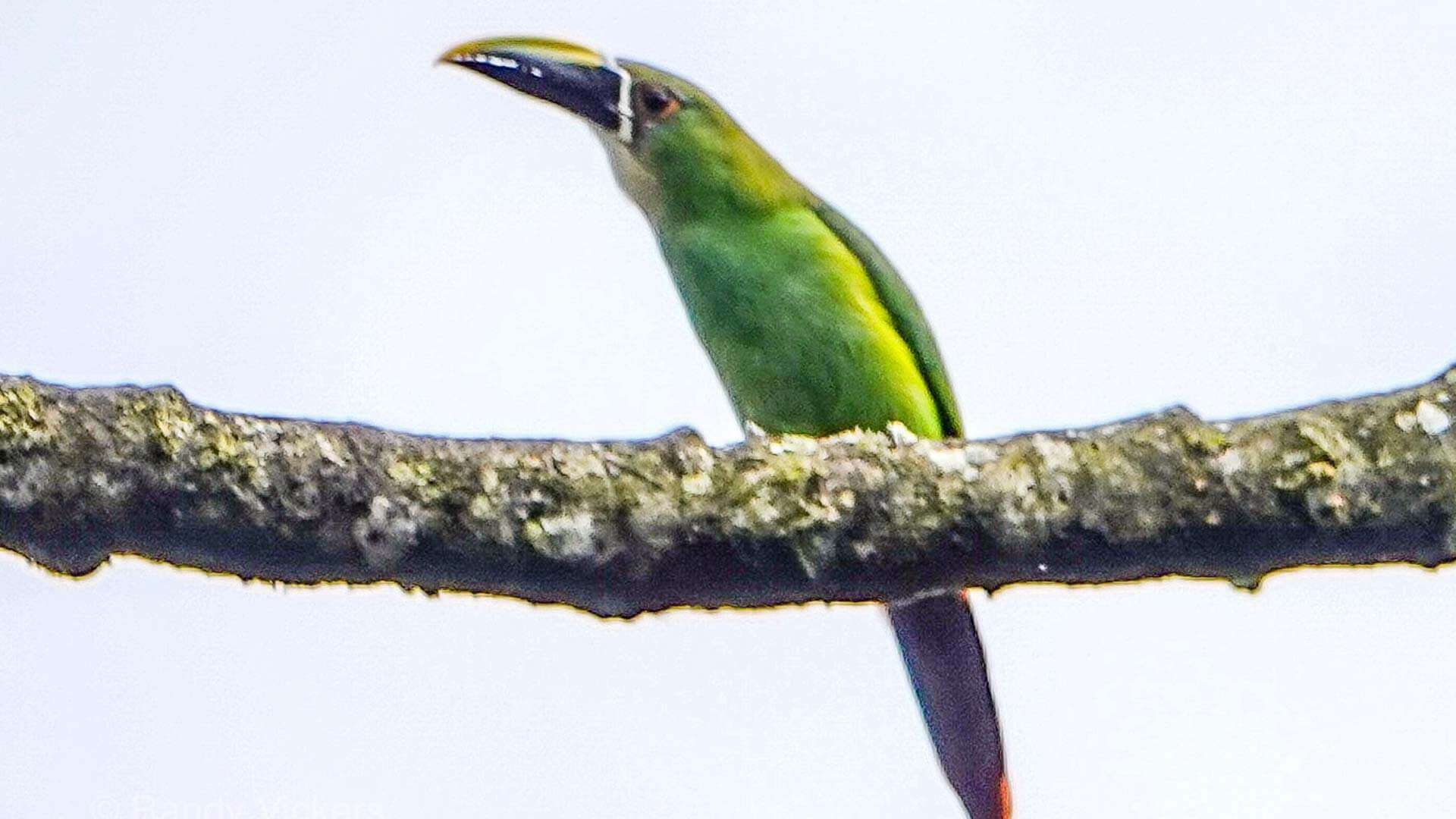green toucan sitting on a branch