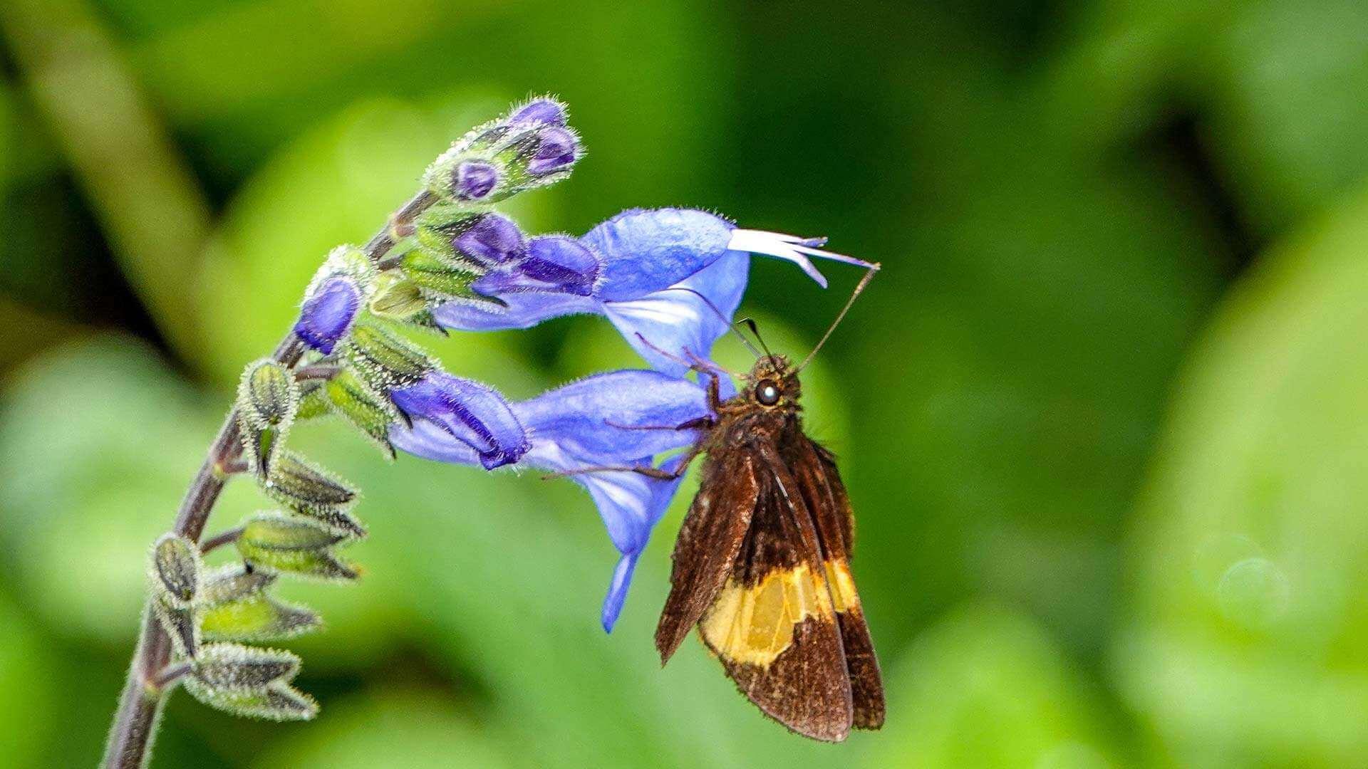 ecuador macro nature photography moth sitting on a blue flower