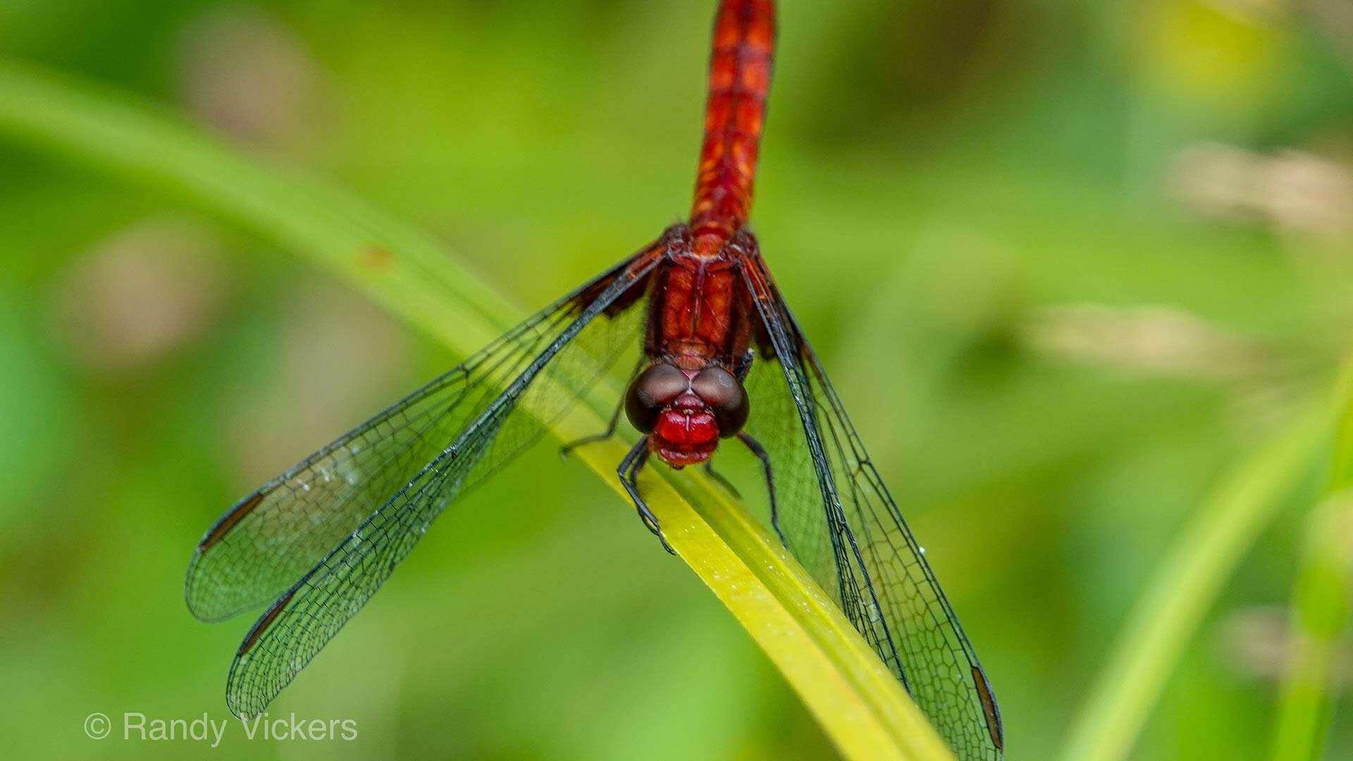 ecuador macro red dragon fly