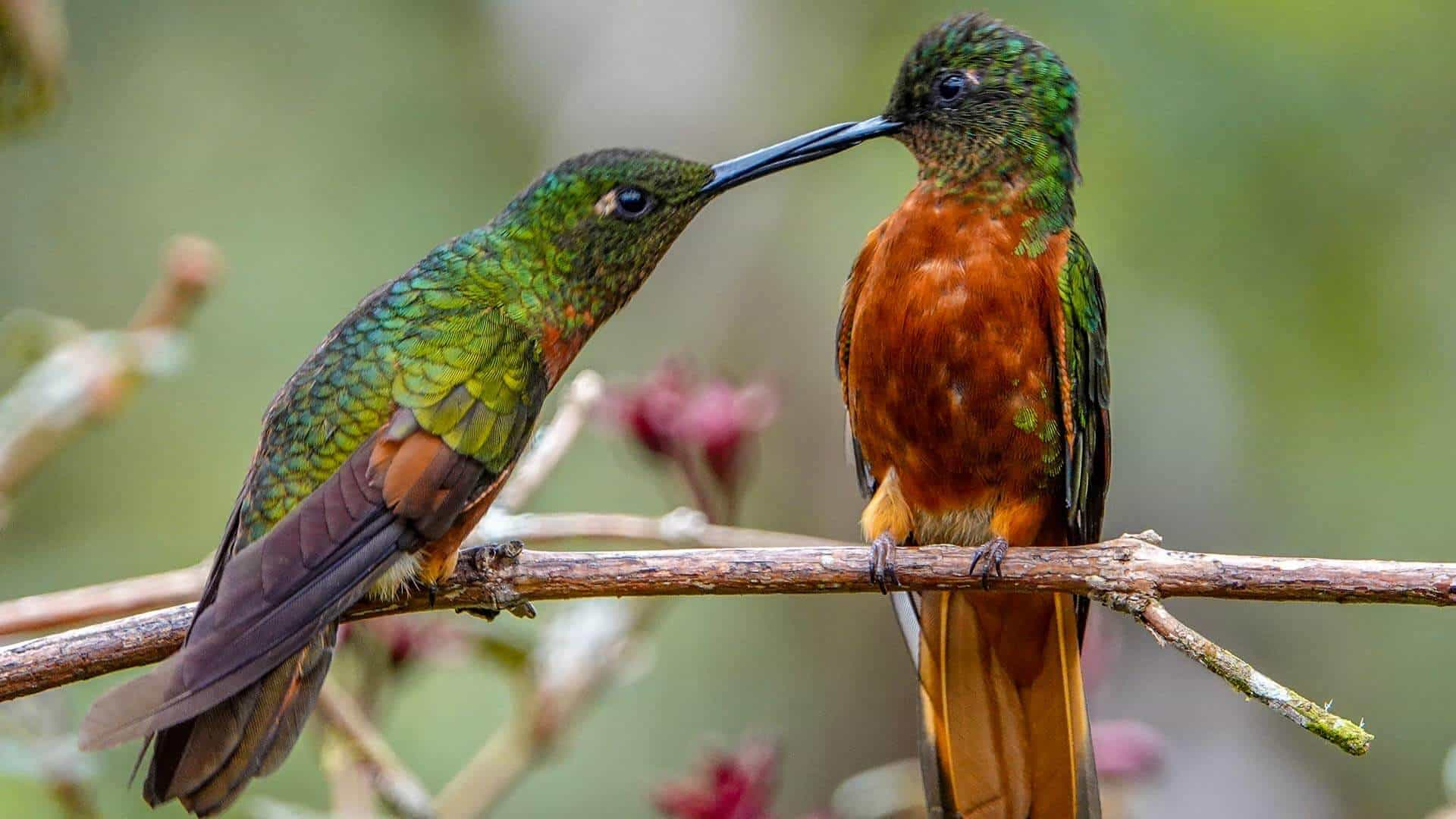 ecuador photography two hummingbirds together on a branch