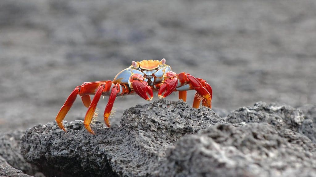 Angelito yacht Galapagos cruise - brightly colored sally lightfoot crab on grey lava rocks