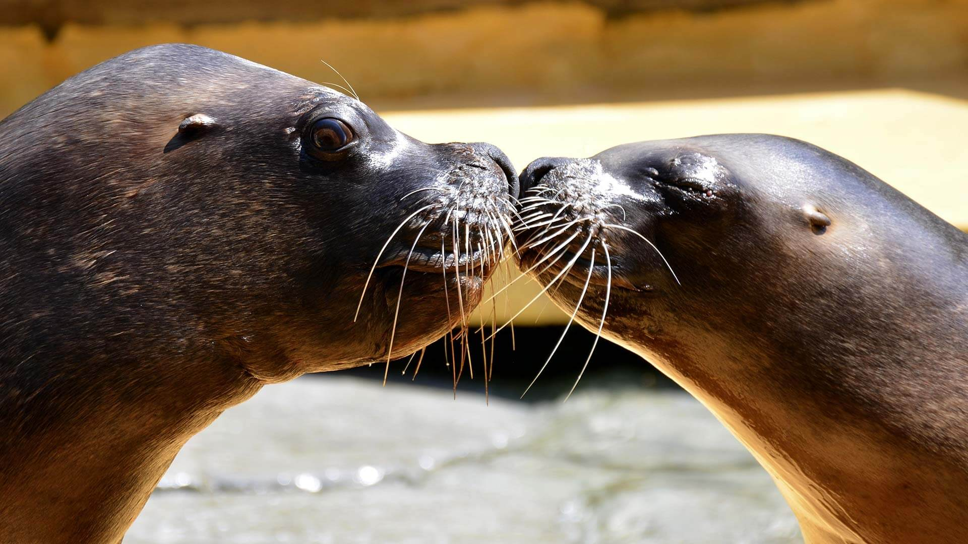 two galapagos sea lions share a kiss