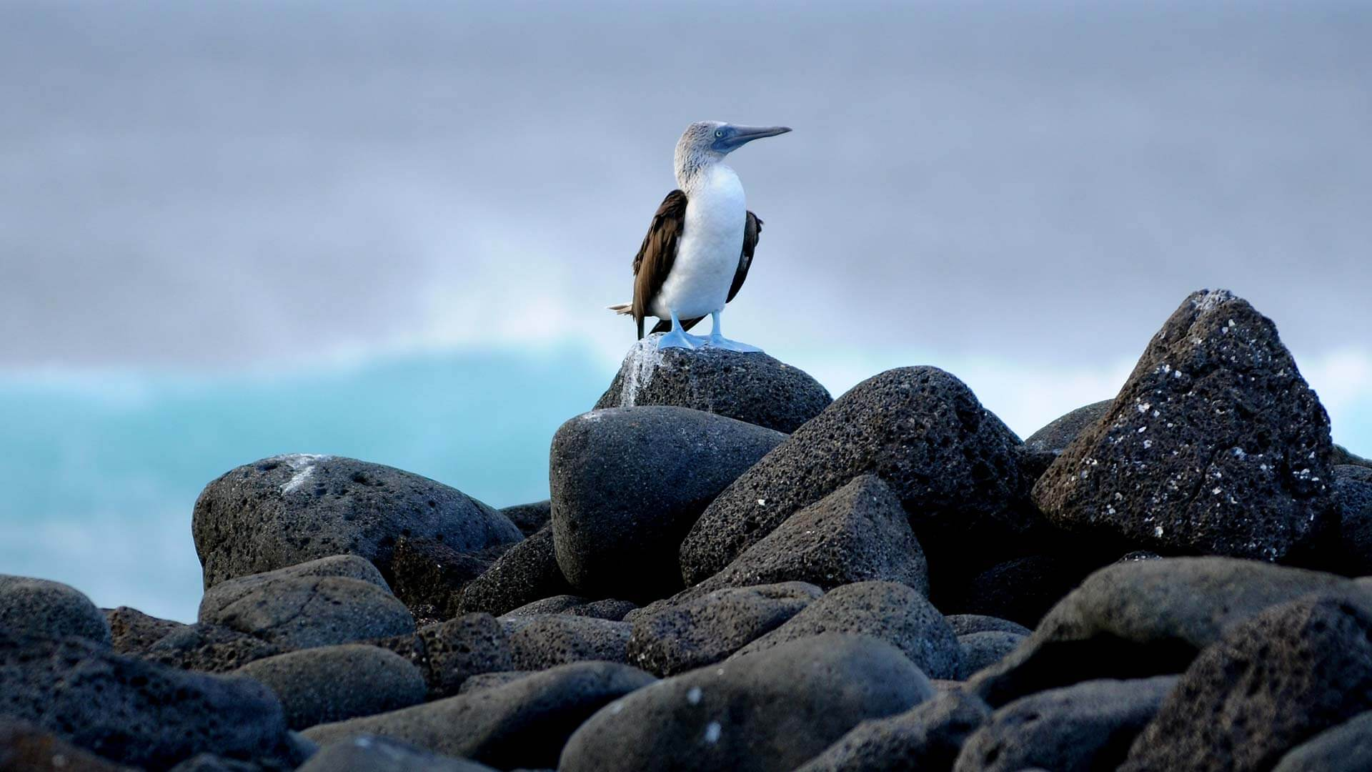 lone galapagos blue footed booby sits on a black lava rock
