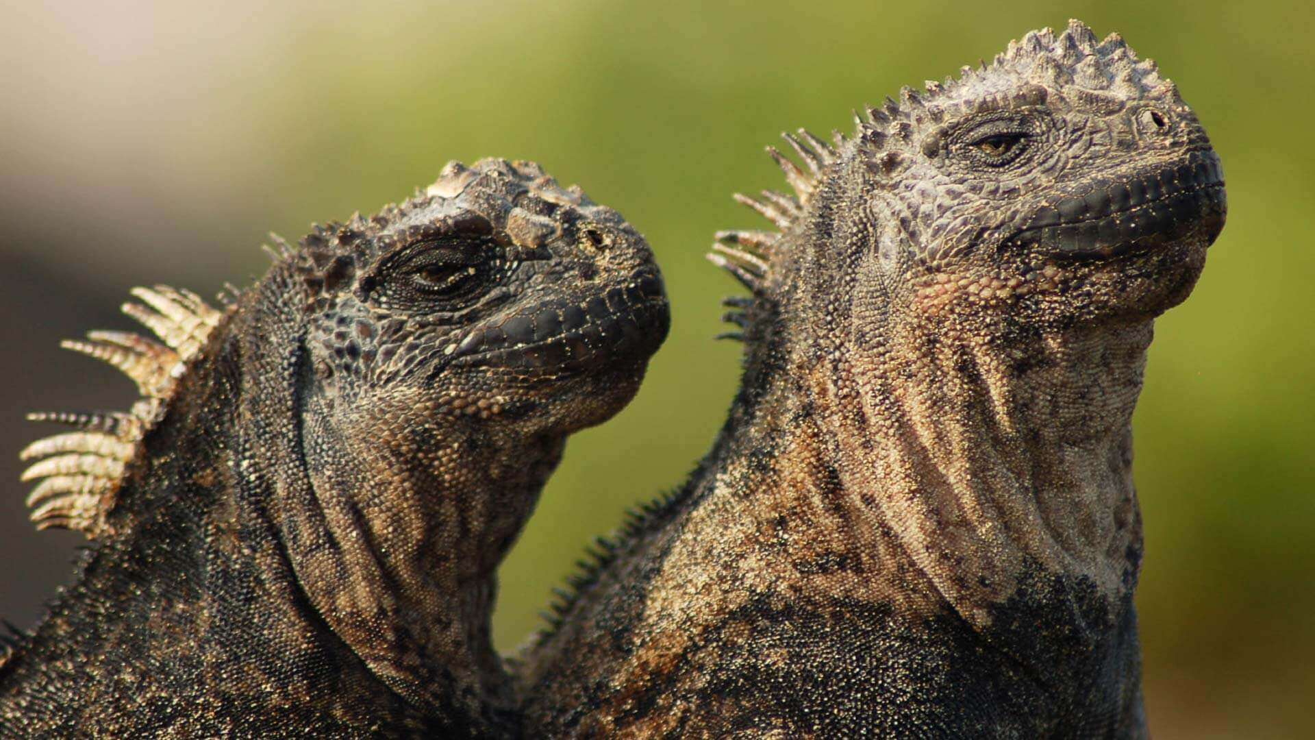 2 marine iguanas sit together at the galapagos islands