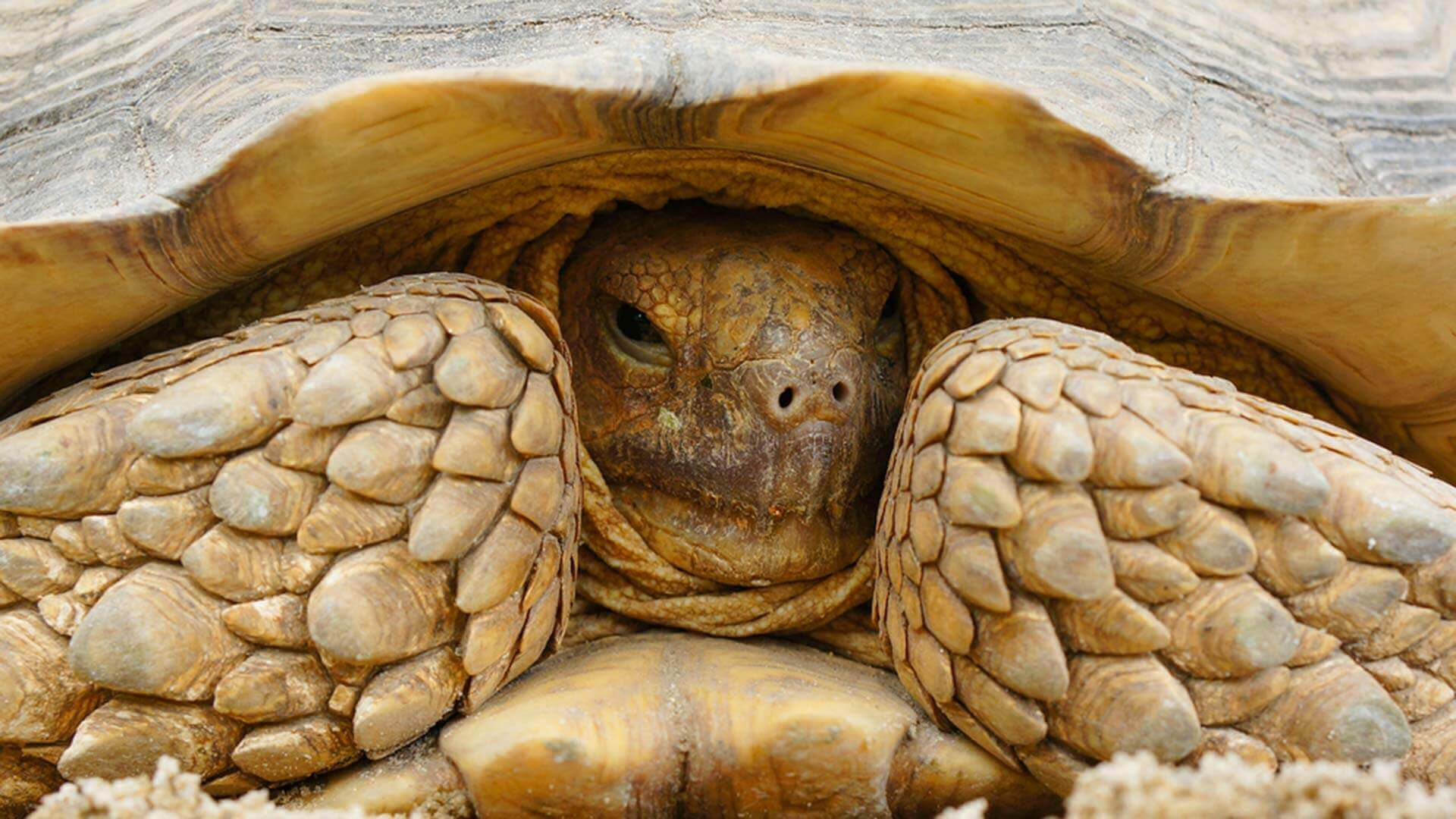 giant galapagos tortoise hiding in his shell