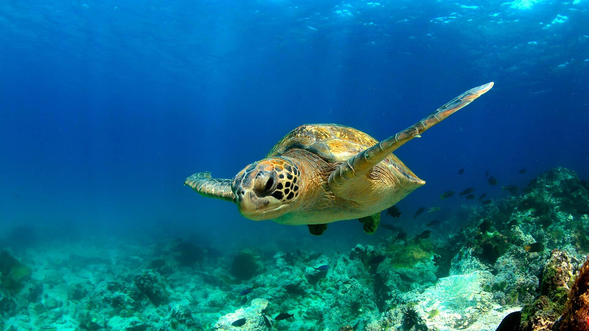 galapagos green seaturtle swimming in clear blue water