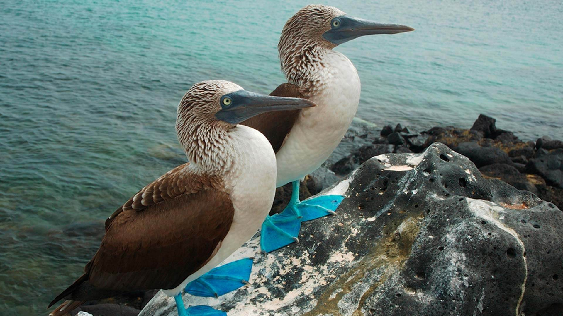 2 blue footed boobies sit together at the galapagos islands