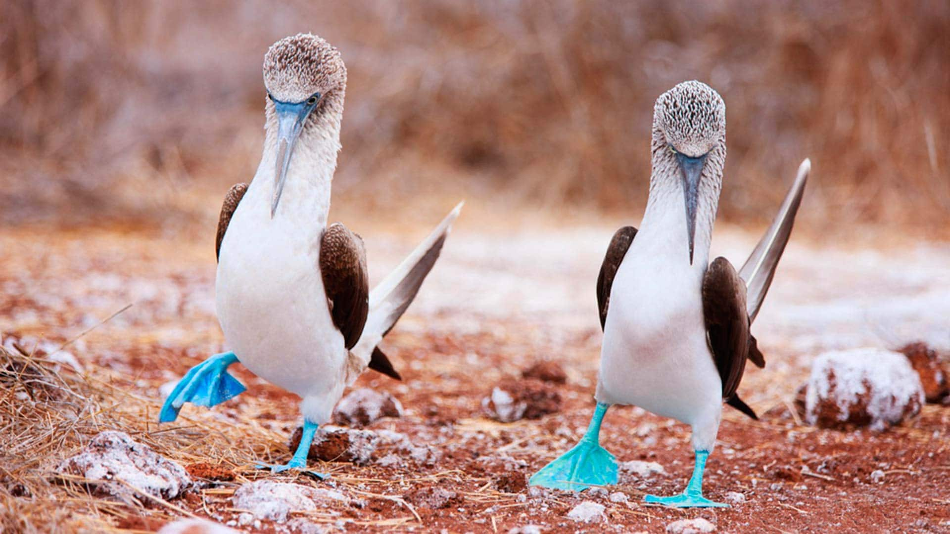 two galapagos blue footed boobies dancing