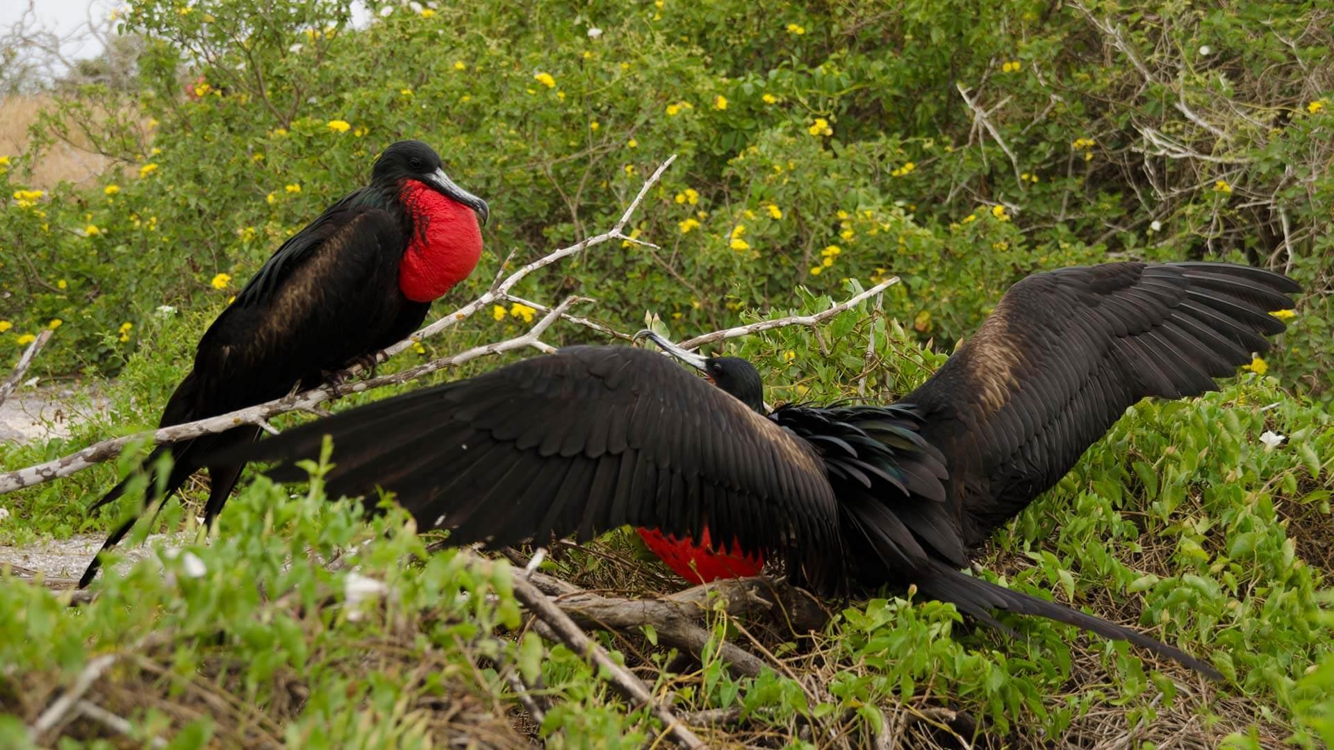 two galapagos frigate birds nesting