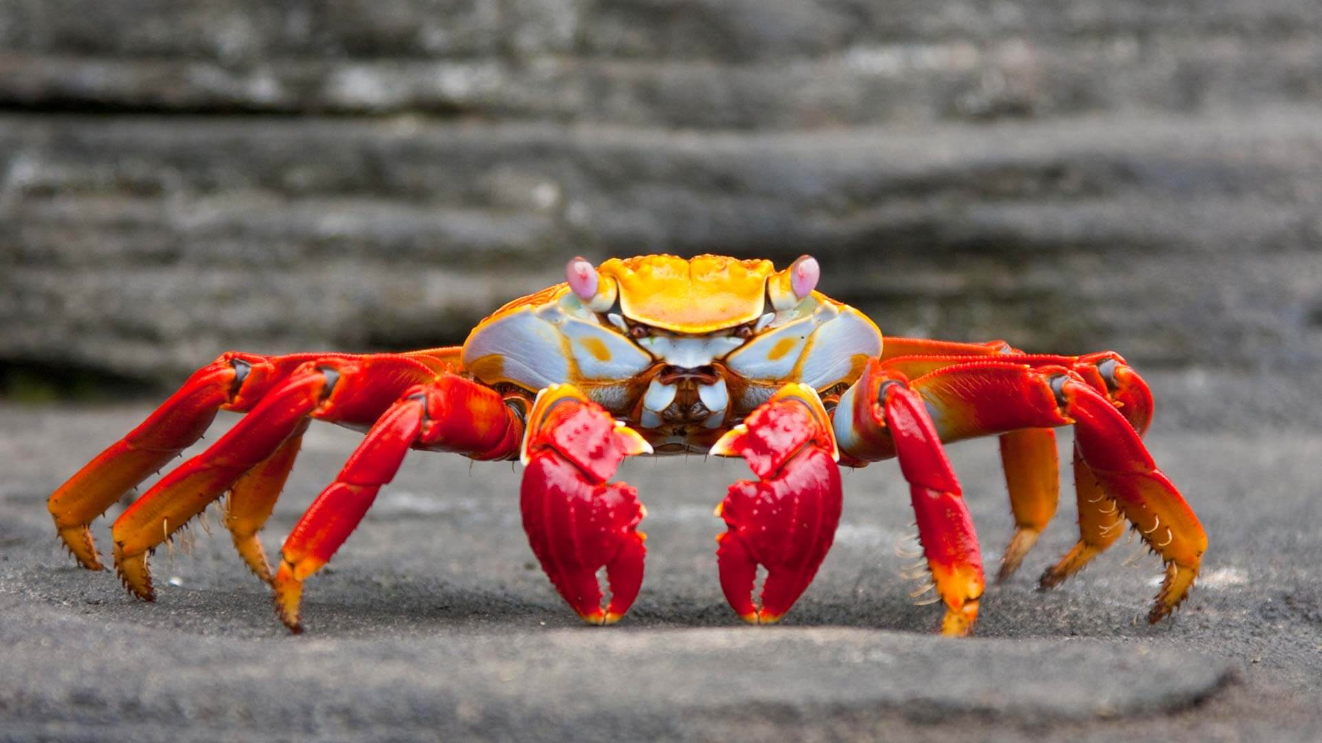 colorful galapagos sally lightfoot crab