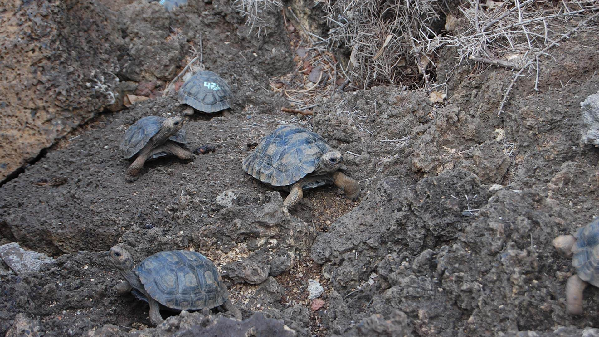 baby galapagos tortoises at breeding center