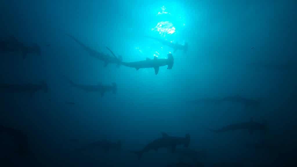 santa cruz galapagos scuba tour dive with hammerhead sharks