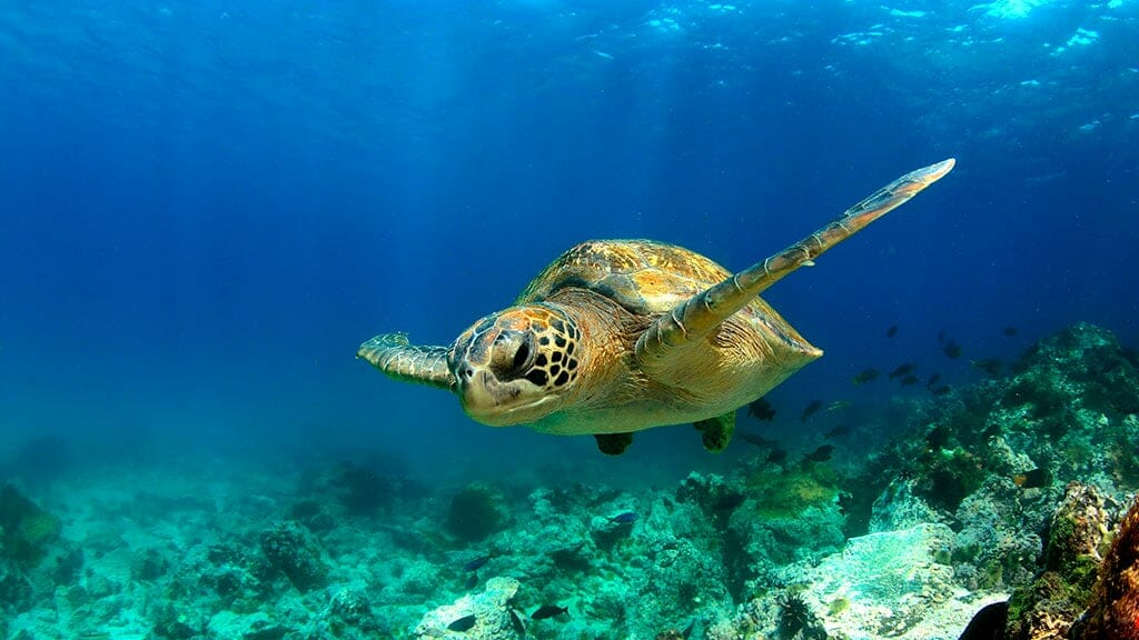 dive with galapagos green sea turtle