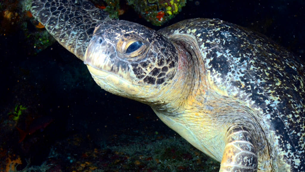closeup of a galapagos islands sea turtle under water