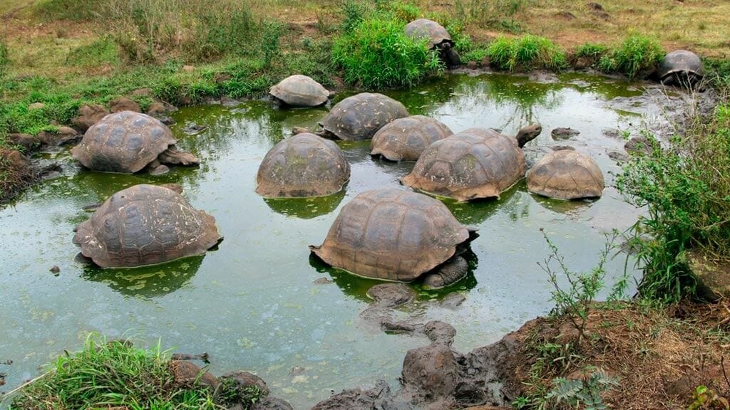 group of giant galapagos tortoises wallowing in a mud pool at el chato reserve