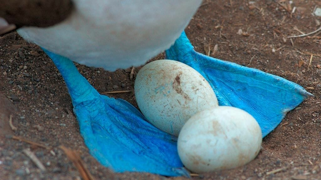 galapagos blue footed booby protecting two eggs between feet