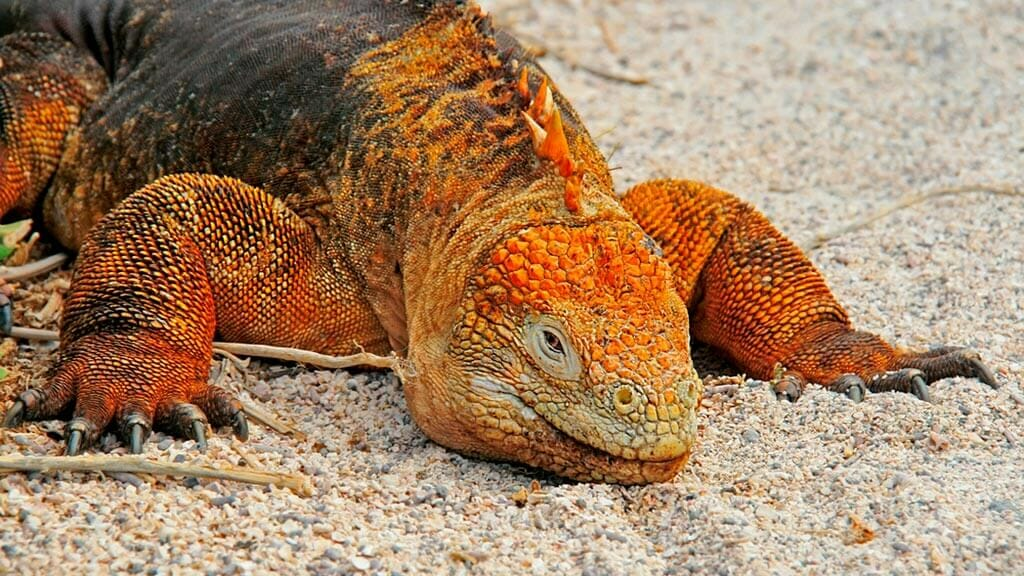 golden colored galapagos land iguana lies in the sand